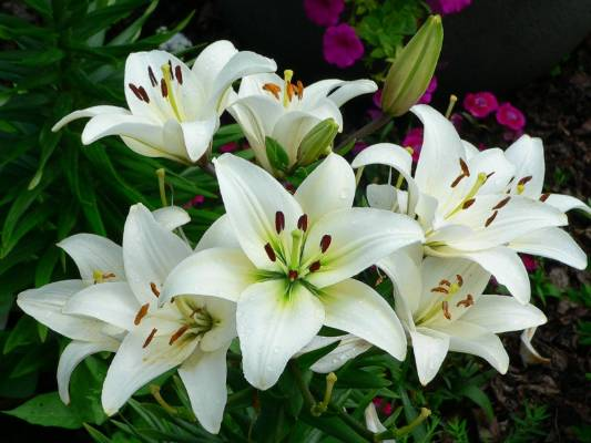 Tanaman Bunga Bakung