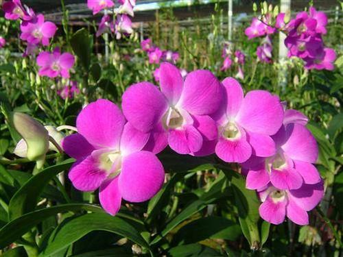 Klasifikasi dan Morfologi Tanaman Bunga Hias Anggrek yang Mempesona